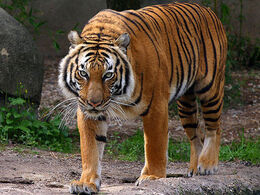 Indochinese-Tiger