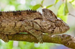 Warty-Chameleon-Furcifer-Verrucosus