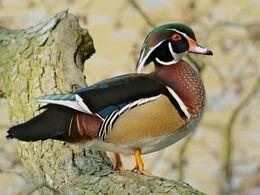 Wood Duck (Aix sponsa), Parc du Rouge-Cloître, Brussels