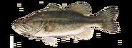 Largemouth-bass-464x170