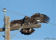 Golden-Eagles-and-Electrocution-Ron-Dudley
