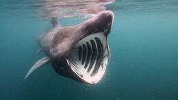 513742403772 513742403772 1080i 25 Breeching Basking Sharks DMS