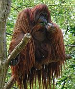 220px-Orangutan -Zoologischer Garten Berlin-8a
