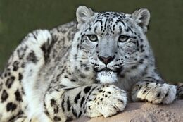 Snow leopard-600x400