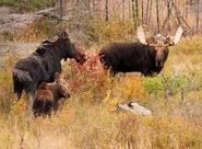 Moose Family 001-X2