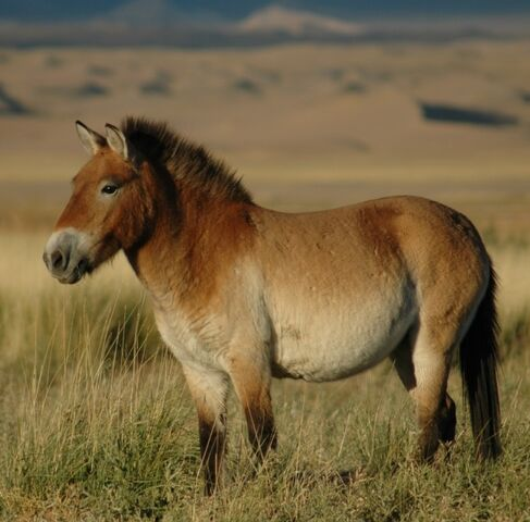 File:Przewalskis horse 02.jpg