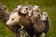 Opossum-babies