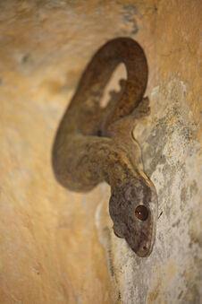 Thecadactylus rapicauda in Dominica-a03