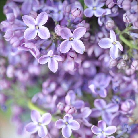 File:Lilacs.jpg