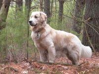 Deep wood dog