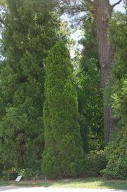 Juniperus chinensis Spartan 1 E Wiegand 800