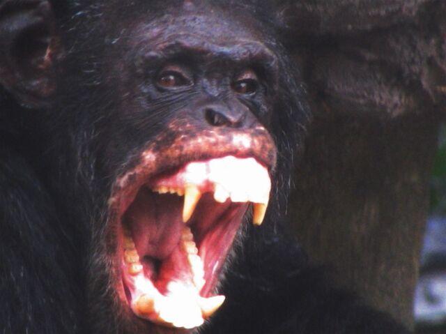 File:Angry chimpanzee.jpg