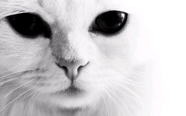 File:White.Cat