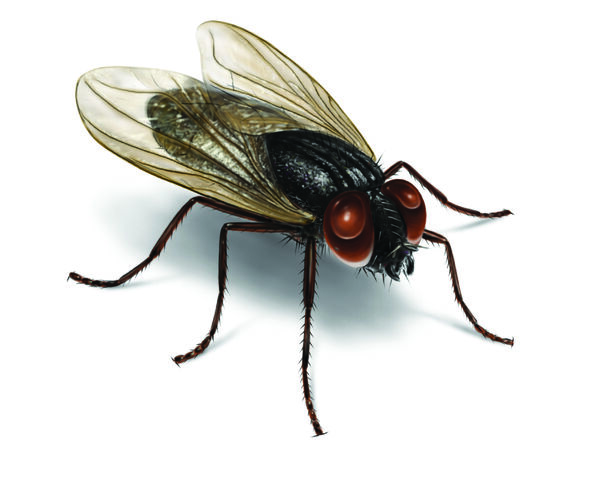 File:House-fly-illustration 2550x2037.jpg