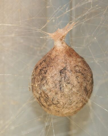 File:Spider egg sac mason farm 111407.jpg