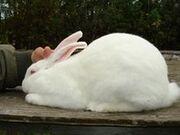220px-RabbitAmericanWhite
