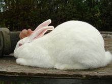 File:220px-RabbitAmericanWhite.jpg