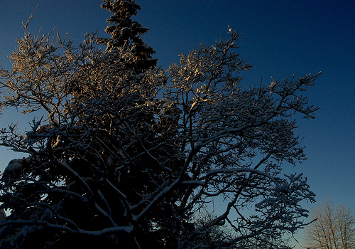 File:Winter trees, Romick Hill, in a clear blue sky, Christmas, Anchorage, Alaska, USA.jpg