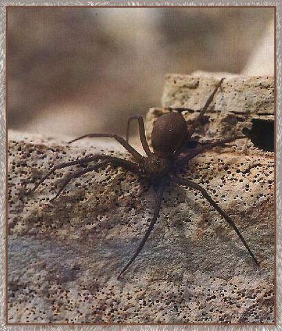 File:Violin spider.jpg