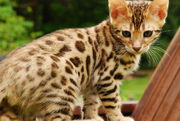Bengal-cat-pictures-8
