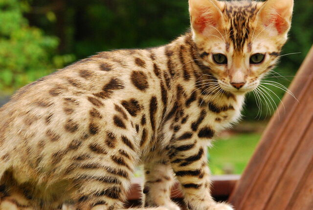 File:Bengal-cat-pictures-8.jpg