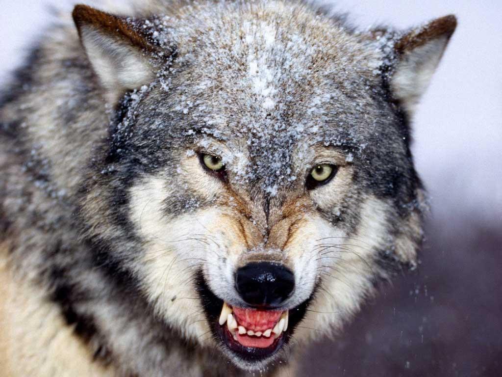 Datei:Wolf.jpg