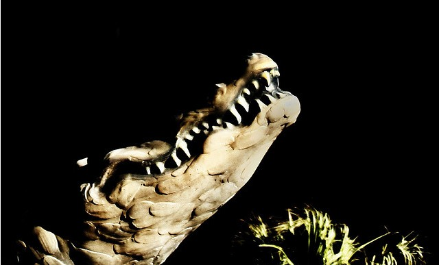 File:Alligator.jpg