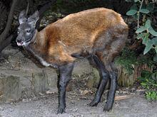 Siberian-musk-deer img01-l