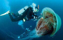 Lion mane jellyfish3