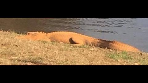 Mystery of Orange Alligator