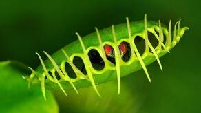 Venus-flytrap
