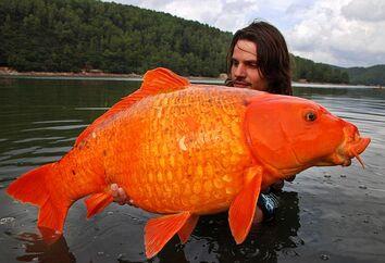 Big goldfish 2