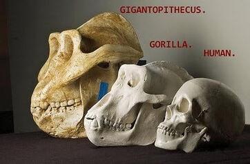 Gigantopithecus3