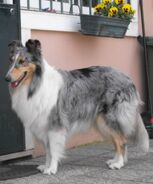 Marbled Collie