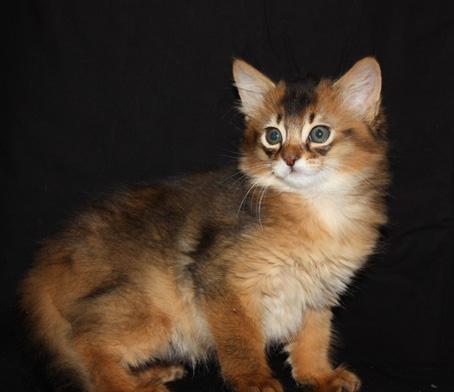File:Kitten Somali.jpg