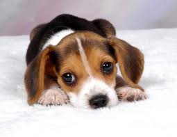 File:Baby Beagle.jpg