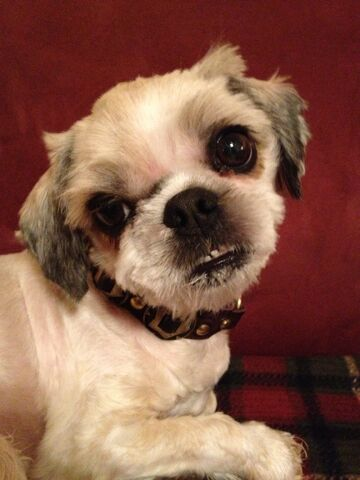 File:Cheewe my dog.JPG