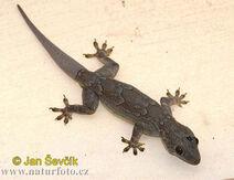Bark-gecko--hemidactulus-leschenaulti-2