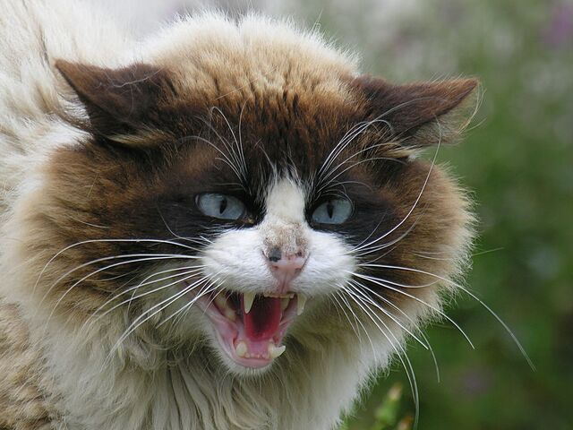 File:Angry Cat Face Wallpaper.jpg
