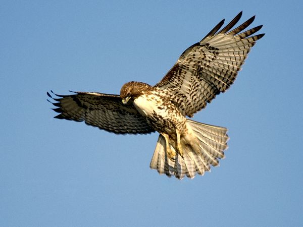 File:Red-tailed-hawk 681 600x450.jpg