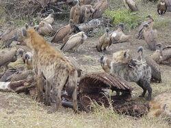 HyenasFeedFromCarcass