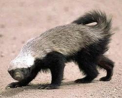 File:250px-Honey badger.jpg