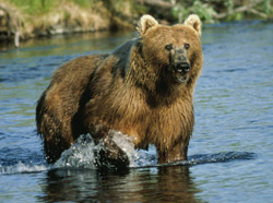 250px-Kodiak Bear at Dog Salmon Creek, USFWS 11389