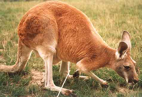 File:Kangaroo red kangur rudy.jpg