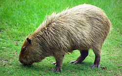 270px-Capybara Hattiesburg Zoo (70909b-42) 2560x1600