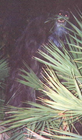 File:353px-Myakka skunk ape 2.png