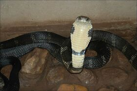 King-Cobra