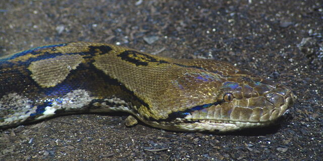File:Reticulated Python 01 brighter.jpg
