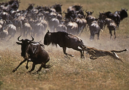 File:Cheetah-caribou-431x300.jpg