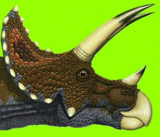 File:Tricerotops horns and frill.jpg